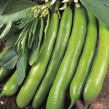 Broad Bean - Dreadnought - 50 Seeds