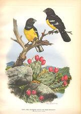 BLACK BACKED GROSEBEAK, Large Rare Color Bird Art Print