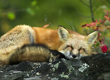 Framed Print - Wild Red Fox Sleeping on a Boulder (Picture Poster Animal Art)