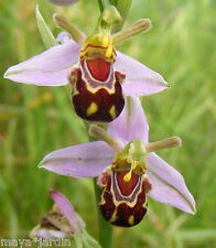 + 300 Graines Orchidée Abeille Rustique (Ophrys apifera) Bee Orchid Seeds