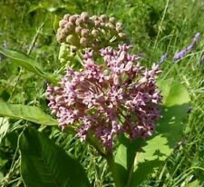 2000 Seeds Common Milkweed Asclepias syriaca Native wildflower for Monarchs