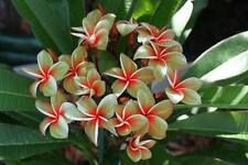 """""""DANG JOE"""" FRAGRANT PLUMERIA CUTTING HAVE ROOTED 7-12 INCHE WITH CERTIFICATION"""