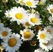 50 White Daisy Seeds Chrysanthemum multicaule Ornamental Garden Flowers A048