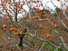 2 American Persimmon Trees, Great Fruit!! FREE SHIPPING