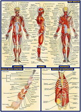 "03 Human Anatomy All System Deep Muscles Map 14""x19"" Poster"