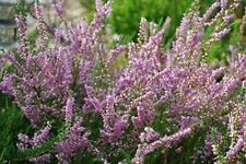Heather (Calluna Vulgaris) - 50 seeds