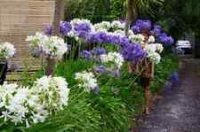 25+ AGAPANTHUS WHITE & PURPLE MIX LILY OF THE NILE FLOWER SEEDS / PERENNIAL