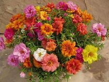 Heirloom 1000 Seeds Portulaca sun Purslane Moss Rose Pigweed Time Flower