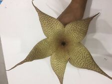 CUTTING OF Carrion Plant, Carrion Flower, Starfish Plant, Toad Plant, Zulu Giant