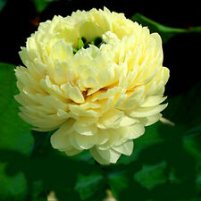 Bonsai lotus/water Lily flower/bowl-pond lotus/5 fresca seeds/light Golden Lotus