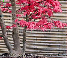ACER PALMATUM japanischer Ahorn * 10 Samen * Bonsai Kübelpflanze winterhart