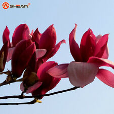 100 Pcs/Bag Red Magnolia Seeds Perennial Flowering Plants Potted Tree Charming