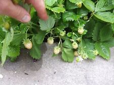 White Alpine Strawberry (Fragaria vesca) x 6 plants.  Ever-bearing variety.