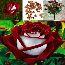 Hot Sale! 100pcs Rare Red &White Osiria Ruby Rose Flower Seeds Home Garden Plant