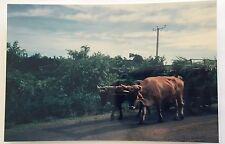 Vintage 90s PHOTO Cows Pulling A Man & His Cart In The Fields Of Costa Rica