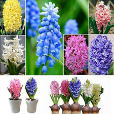 300pcs/lot Mixed Color Hyacinthus Orientalis Seeds Easy to Plant Flower Decor