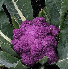 60 graines CHOU-FLEUR VIOLET DE SICILE - Légume original potager