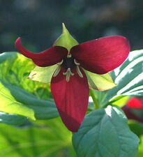 5 NC PURPLE ERECT TRILLIUMS BULB ROOTS NATIVE SHADE WOODLAND