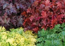 EXCLUSIVE HEUCHERA MIX SEED