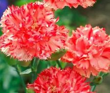 Carnation (Dianthus Caryophyllus Chabaud)- Orange - 50 seeds