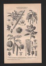 Lithografie 1893: AMENTACEEN. (DIKOTYLEDONEN: Choripetalen.) Edelkastanie Korkei