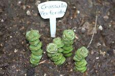 ~Crassula Perforata~Succulent plant-sedum-aeonium-sempervivum-echeveria