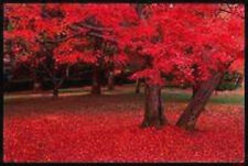 25 CAROLINA RED SCARLET MAPLE Tree Acer Rubrum Seeds