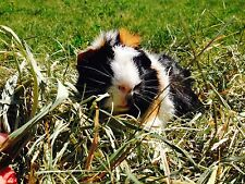 FRESH GRASS/TIMOTHY HAY 3LBS - 2nd Cut for Small Pets