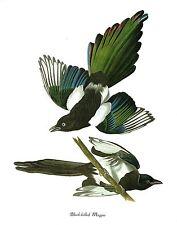 """1978 Vintage AUDUBON BIRDS """"BLACK-BILLED MAGPIE"""" Color Art JUMBO Lithograph"""