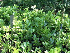 10 LAUREL CHERRY WHITE FLOWERS EVERGREEN HEDGING SHRUBS PLANTS 25m to 30cm TALL