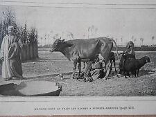 Egypte Traite des vaches à Scheikh-Marzouk Image Print 1906