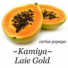 ~LAIE GOLD~ HYBRID PAPAYA Kamiya Yellow Flesh Solo X-77 UH Cultivar 50+ SEEDS