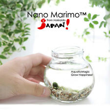Nano Marimo x 5 pcs- Plant for Office Dining Table Decor Ikea Desk Microsoft Zen