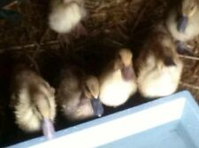 6 Mixed Campbell Duck Hatching Eggs