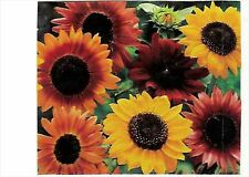 * SUNFLOWER AUTUMN MIX *  100 SEEDS