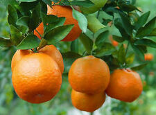 Live Dwarf Orange -(Santara)-Fruit Plant-Tangerine Orange Plant - 2 Plant In Pot