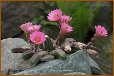 Cactus seeds - Echinocereus gentryi - Pack of 5 seed