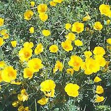 Eschscholzia California Poppy Golden West Annual Seeds