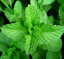 30 Lemon Balm Seeds Mentha Citrata Lemon Mint Herbs Organic D031