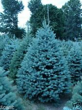 100 x Blue Spruce Picea Pungens Glauca Tree seeds Colorado evergreen xmas