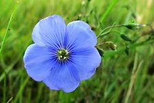 Heirloom 800 Seeds Linum Usitatissimum Blue Perennial Oil Flax Prairie Cover