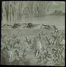 Glass Magic Lantern Slide WATER SPIDERS C1890 DRAWING NATURE POND LIFE