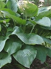 Komodo Dragon Hosta Seeds!  COMB. S/H! MANY HOSTA SEEDS IN OUR STORE!