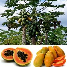 FD944 Sweet Papaya Seeds Kakdam Tropical Subtropical Subarctic Fruit Plant 10PC!