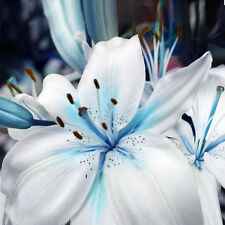 50pcs Lily Stargazer Blue & White Scented Perennial Garden Flower Bulbs Seeds