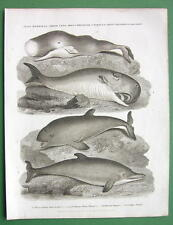 DOLPHIN Cachelot Porpoise Mammals - 1820 Antique Print by A. REES