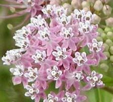100 PINK COMMON MILKWEED Asclepias Syriaca MONARCHS! Flower Seeds +Gift & CombSH