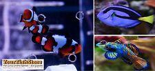 (X2) BLACK ICE CLOWN FISH (PAIR) MED - (x2) MANDARIN GOBIE - (x1) HIPPO TANG MED