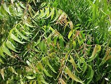 1/2 LB FRESH Neem Leaves Leaf U.S.A. All Natural- Hand Picked the Hour it Ships