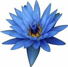 BLUE LOTUS ABSOLUTE 100% PURE ESSENTIAL OIL 1 ml